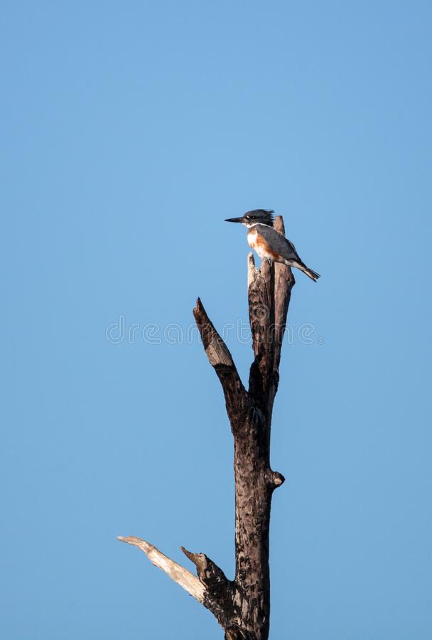 Belted Kingfisher Megaceryle alcyon perches high up in a tree. In the Fred C. Babcock and Cecil M. Webb Wildlife Management Area in Punta Gorda, Florida royalty free stock photography