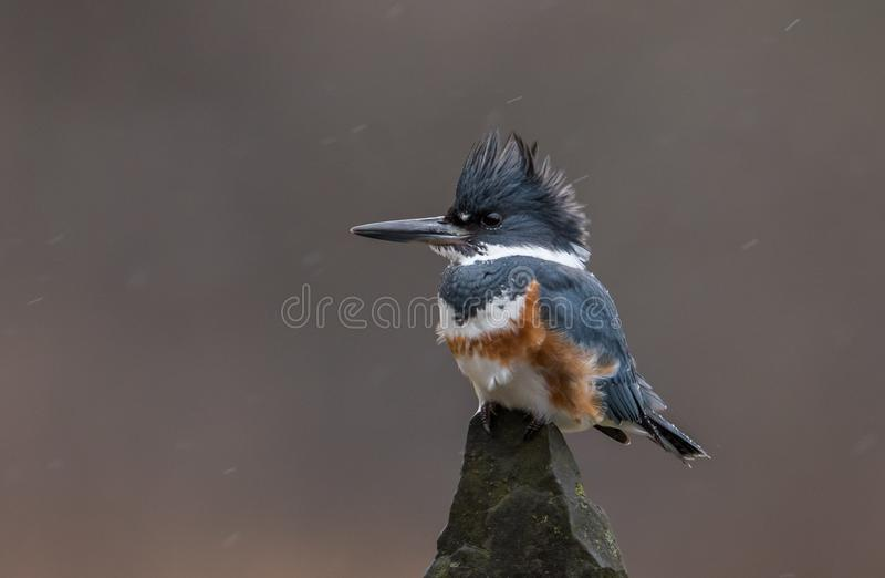 Belted Kingfisher. A Belted Kingfisher in Pennsylvania royalty free stock photo