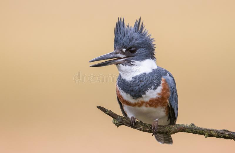 Belted Kingfisher. A Belted Kingfisher in Pennsylvania stock images