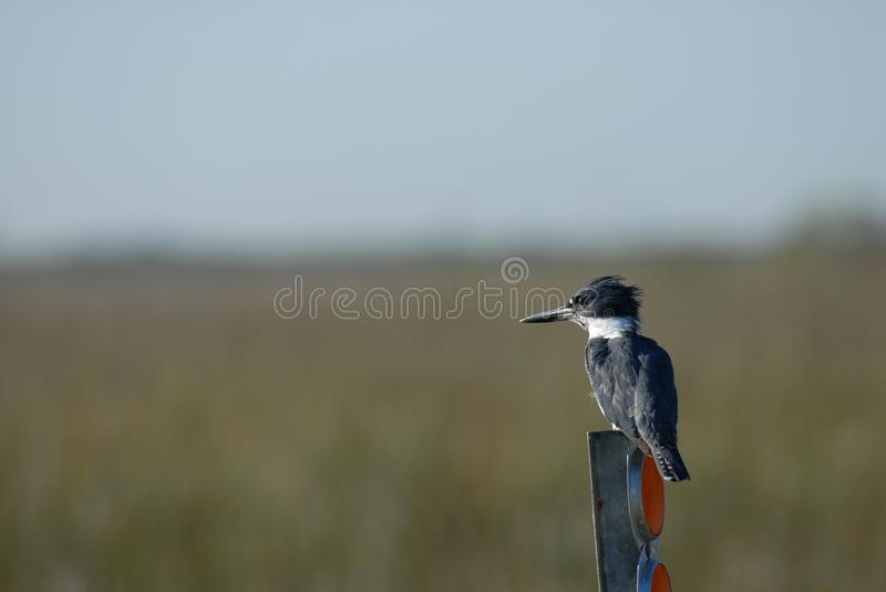 Belted Kingfisher. A belted kingfisher perched on top of a street marker in north western Missouri stock images