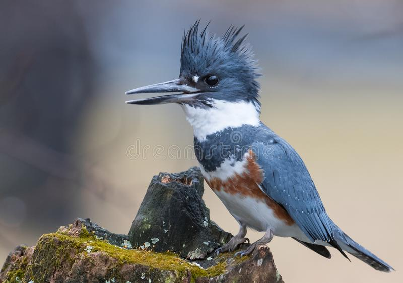Belted Kingfisher in the Rain. In Pennsylvania royalty free stock image