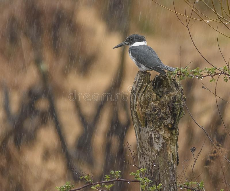 Belted Kingfisher in the rain. A Belted Kingfisher in a spring rain in Pennsylvania. Perched on a tree stump royalty free stock photo