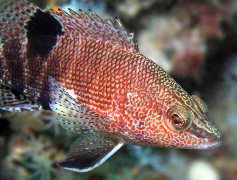 Belted Sandfish. A beautiful and intricately patterned Belted Sandfish stock image