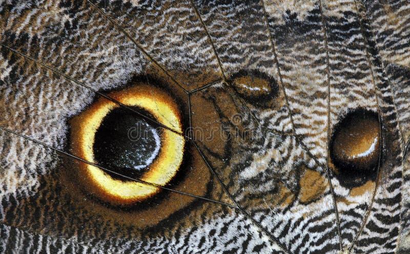 beltrao motylia caligo sowa fotografia stock