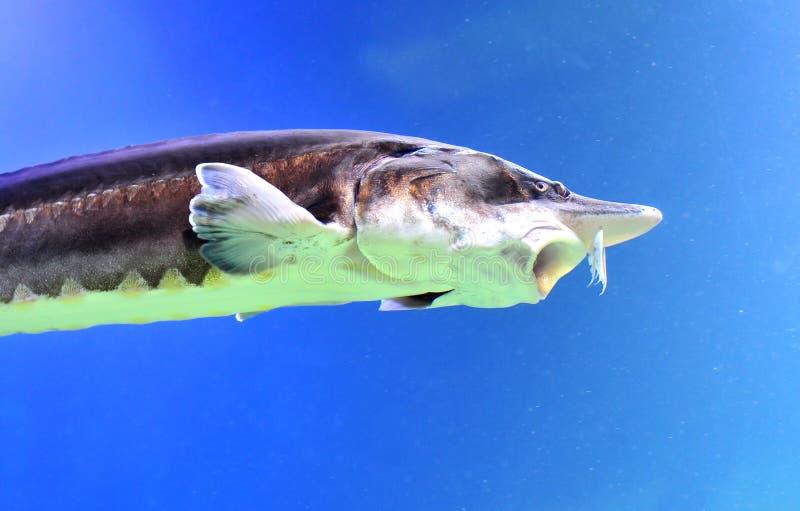 Beluga Sturgeon. Fish swimming in a fish tank - copy space royalty free stock photography