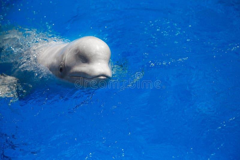 Belugaweißwal stockfotografie