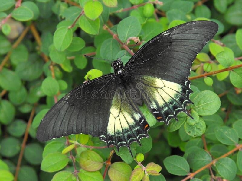 Belus Swallowtail Butterfly. Belus Swallowtail Battus belus butterfly at rest stock photos