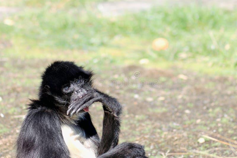 belzebuth Blanc-gonflé d'Ateles de singe d'araignée images libres de droits