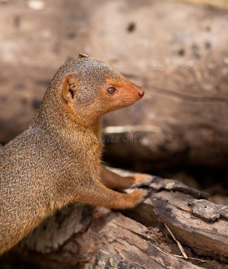 Bem perto do Mongoose do anão foto de stock royalty free