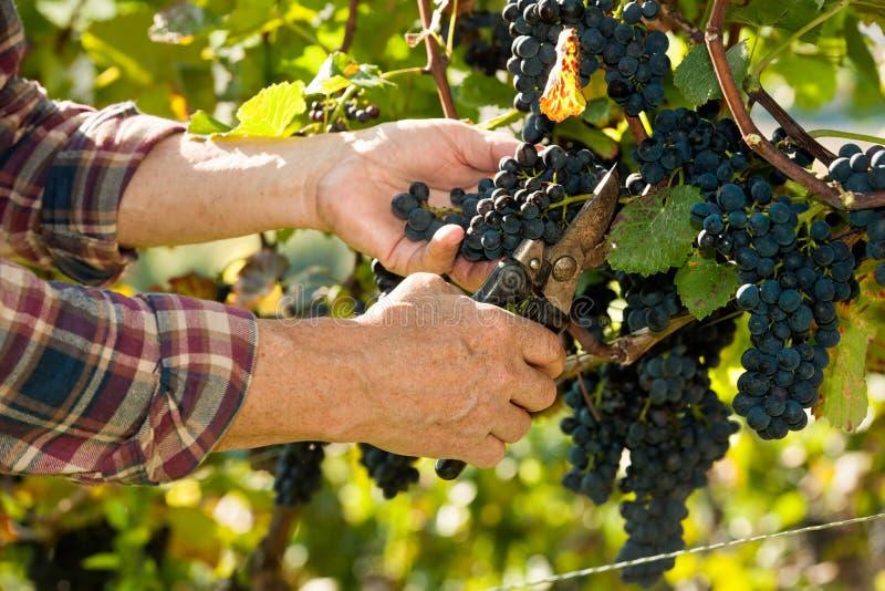 Bemanna arbetet i en vingård royaltyfri foto