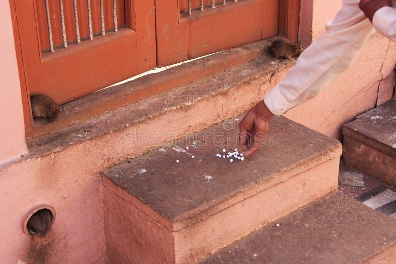 Bemannen Sie Angebotlebensmittel für Ratten, Karni Mata Temple, Deshnok, Indien lizenzfreie stockfotos