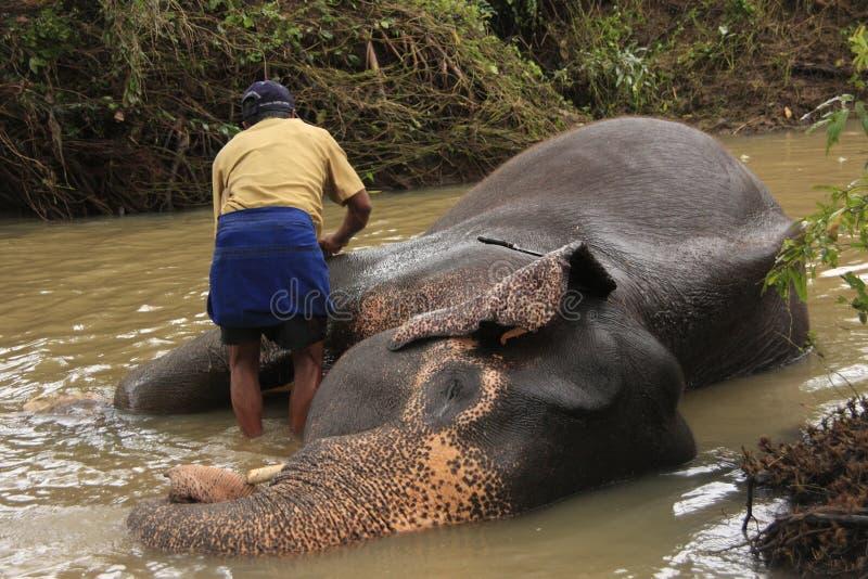 Bemannen Sie das Baden eines Elefanten, Sri Lanka stockbilder