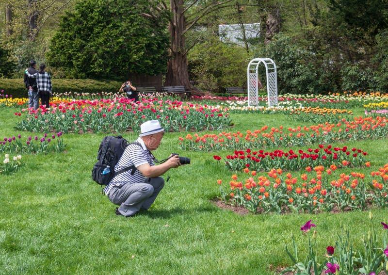 Bemannen Sie das Fotografieren von Tulpen in Elizabeth Park, West-Hartford, Connecticut stockfotografie