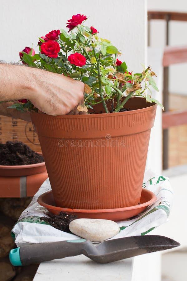 Bemannen Sie das Pflanzen von Jungen stieg auf einen Plastiktopf lizenzfreies stockfoto