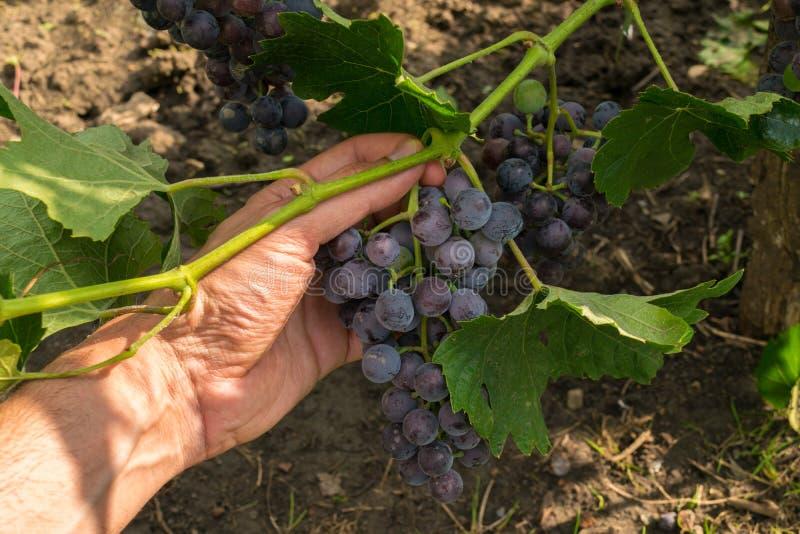 Bemannen Sie die Hand, die organische purpurrote Trauben vom Weinstock - POV aufhebt stockfotografie