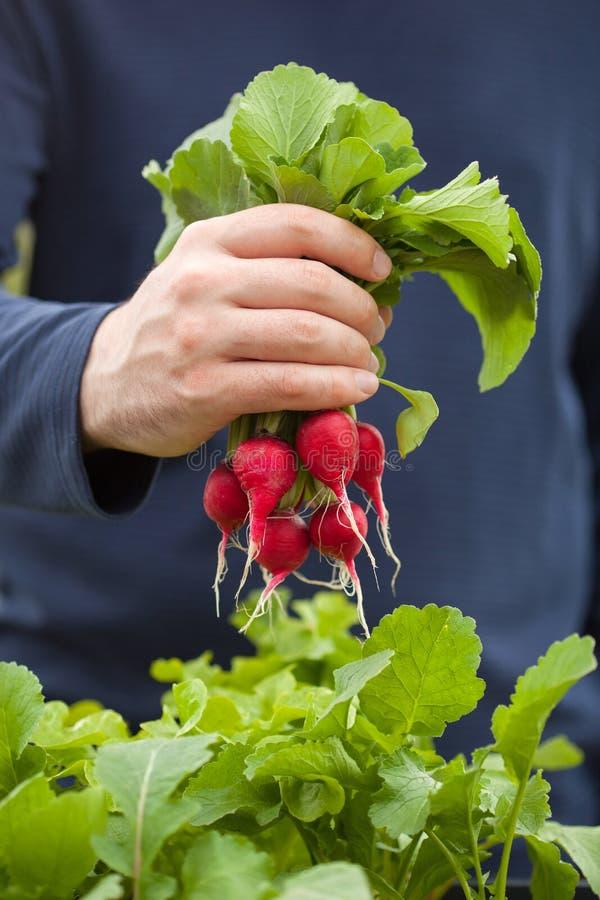 Bemannen Sie Gärtnersammelnrettich vom Gemüsebehältergarten auf b lizenzfreie stockfotos