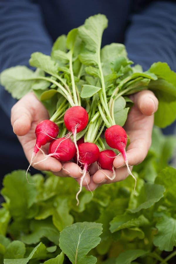 Bemannen Sie Gärtnersammelnrettich vom Gemüsebehältergarten auf b stockfotografie