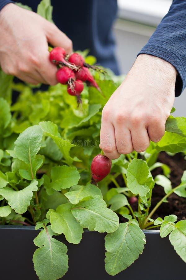 Bemannen Sie Gärtnersammelnrettich vom Gemüsebehältergarten auf b lizenzfreies stockbild