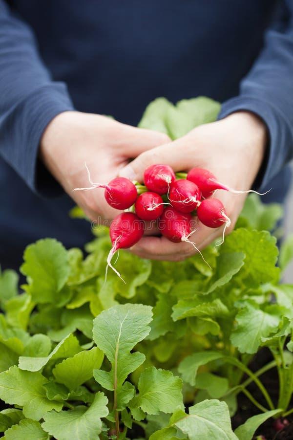 Bemannen Sie Gärtnersammelnrettich vom Gemüsebehältergarten auf b stockfoto