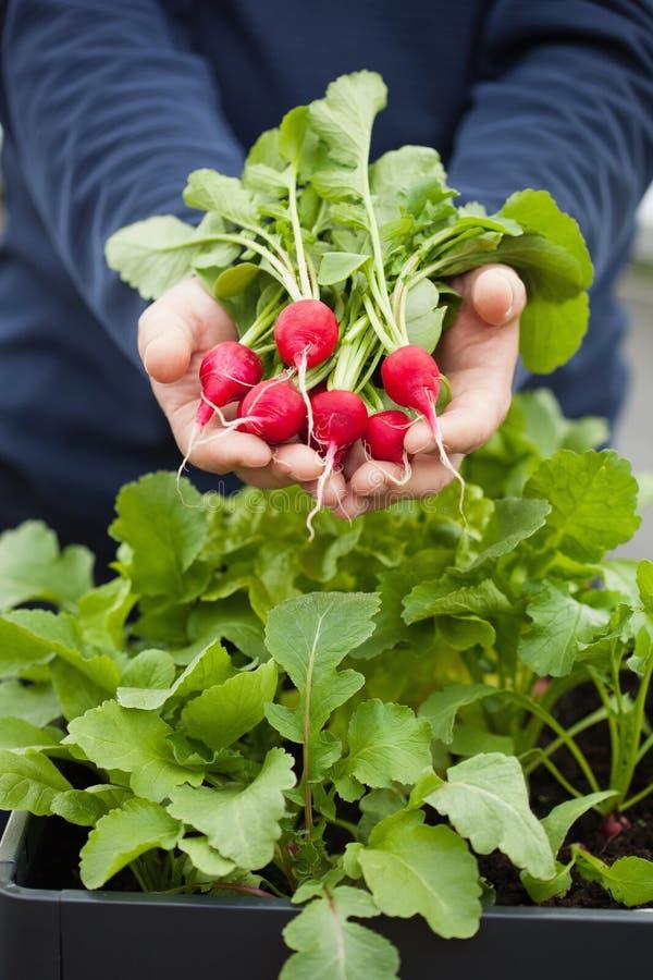 Bemannen Sie Gärtnersammelnrettich vom Gemüsebehältergarten auf b stockbilder
