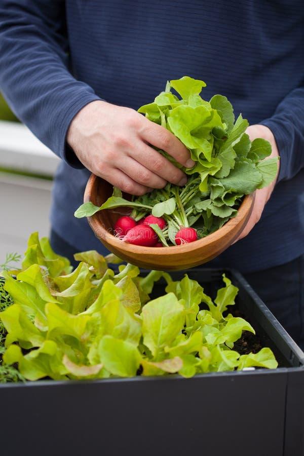 Bemannen Sie Gärtnersammelnsalat und -rettich von Gemüsebehälter g lizenzfreie stockfotografie