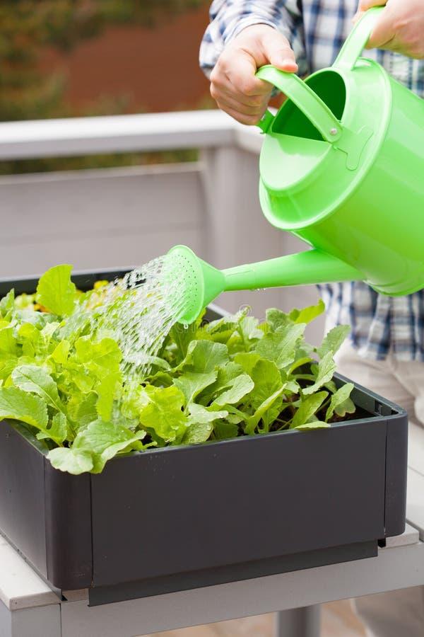 Bemannen Sie wässernden Gemüsegarten des Gärtners im Behälter auf Balkon lizenzfreies stockbild