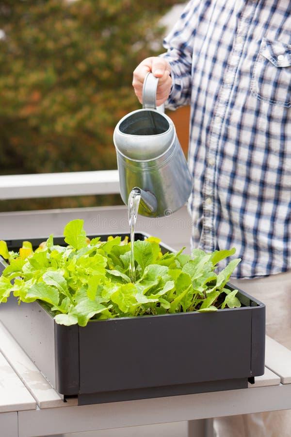 Bemannen Sie wässernden Gemüsegarten des Gärtners im Behälter auf Balkon lizenzfreies stockfoto