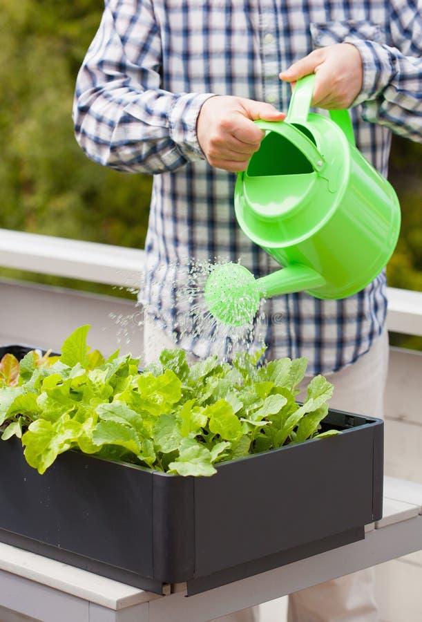 Bemannen Sie wässernden Gemüsegarten im Behälter auf Balkon stockfotos