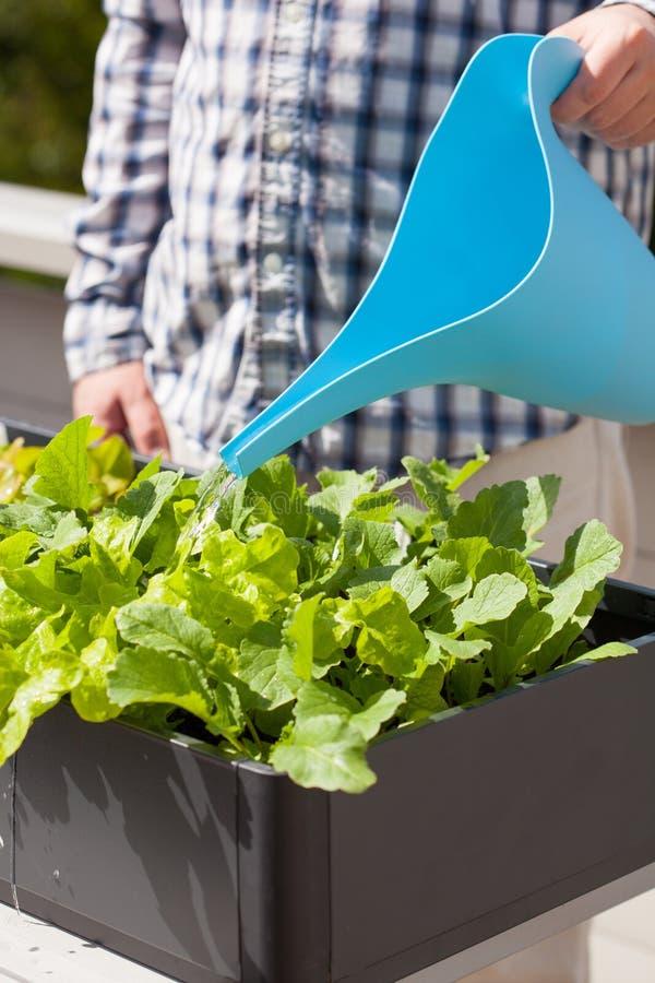 Bemannen Sie wässernden Gemüsegarten im Behälter auf Balkon lizenzfreie stockbilder