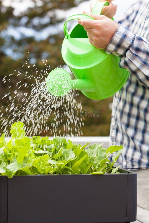 Bemannen Sie wässernden Gemüsegarten im Behälter auf Balkon stockfoto