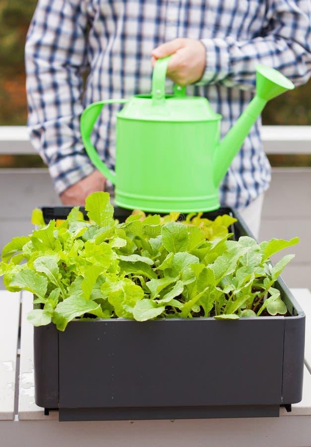 Bemannen Sie wässernden Gemüsegarten im Behälter auf Balkon lizenzfreies stockfoto