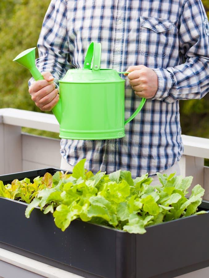 Bemannen Sie wässernden Gemüsegarten im Behälter auf Balkon stockfotografie