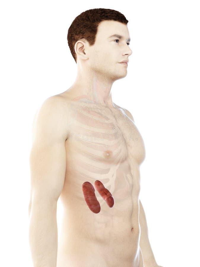 Bemannt Nieren lizenzfreie abbildung
