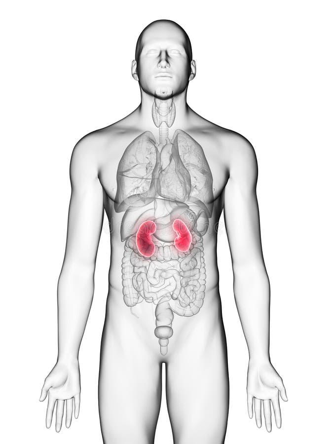 A bemant nieren vector illustratie