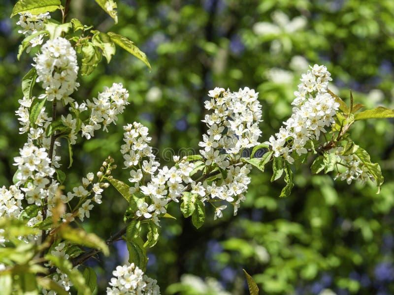 Bemerkte witte bloemen van hackberry, Prunus-padus royalty-vrije stock foto