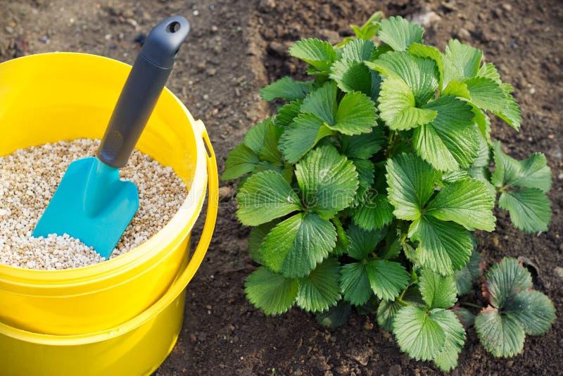 Bemesting van aardbeiinstallaties in tuin stock foto
