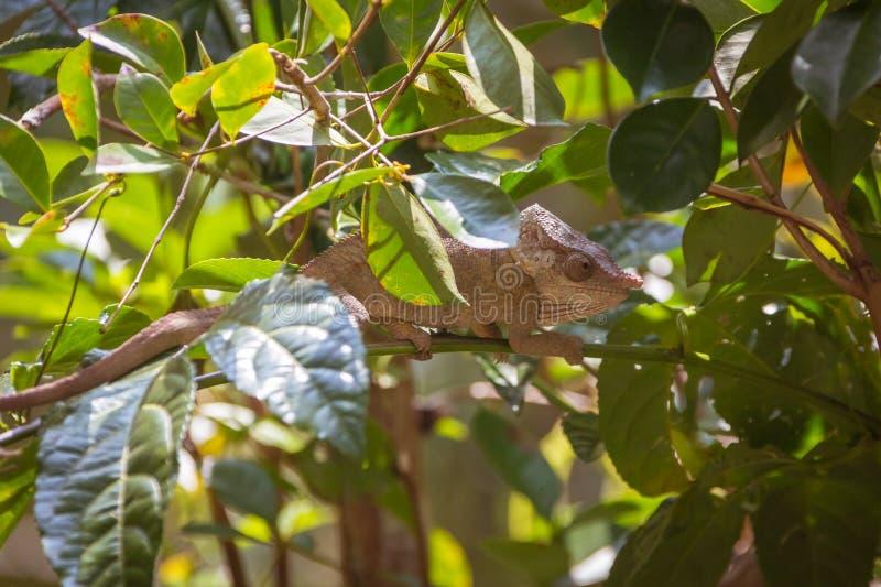 Bemoeiziek kameleon stock foto