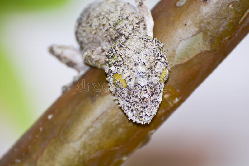 Bemoste blad-de steel verwijderde van gecamoufleerde gekko (Uroplatus-sikorae) stock foto's