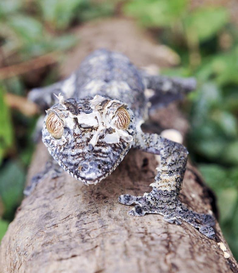 Bemoste blad-de steel verwijderde van gekko (Uroplatus-sikorae) camouflage stock afbeeldingen