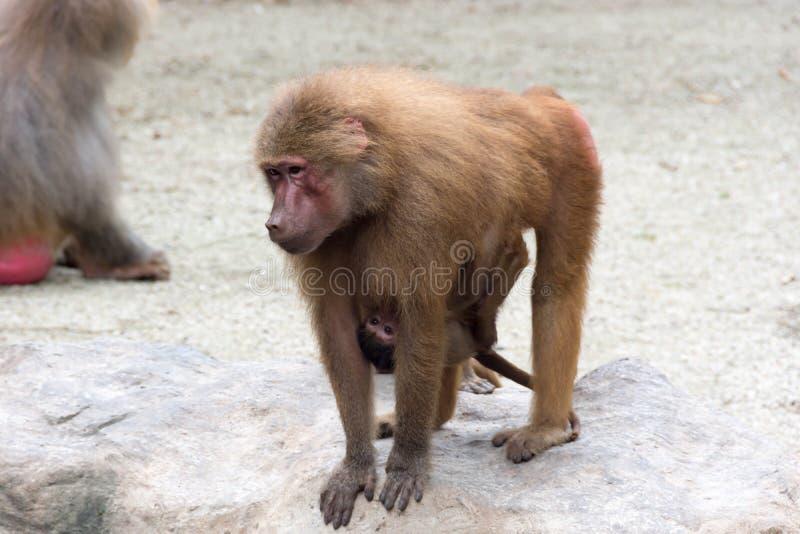 Bemuttern Sie Affepaviankrankenpflege und das Interessieren ihres Baby Affen stockfotos