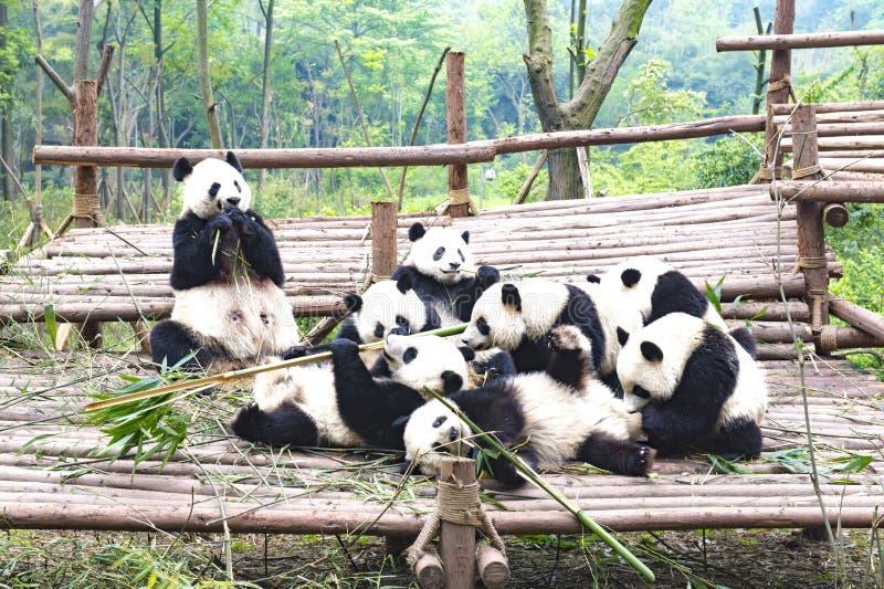 Bemuttern Sie den Pandabären und nette Junge und zusammen spielen, Chengdu, China lizenzfreie stockfotografie