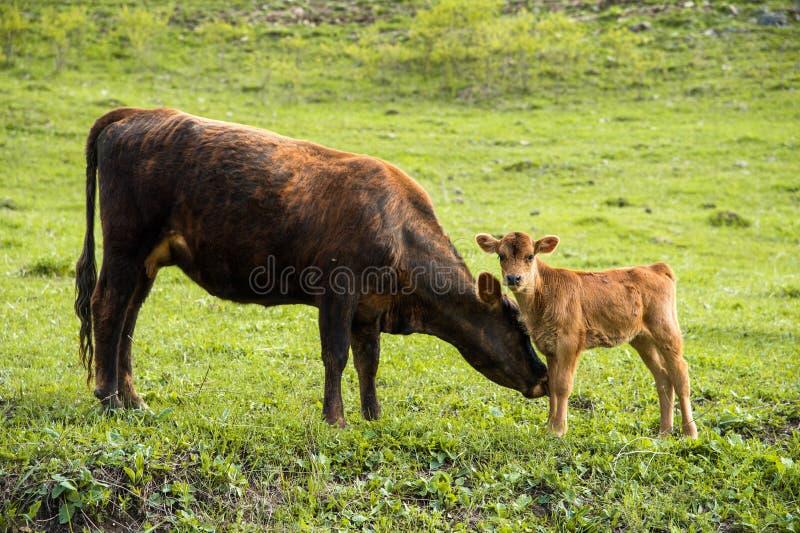 Bemuttern Sie die Kuh nahe bei ihrem kleinen Kalb weiden lassend auf einer Wiese lizenzfreie stockbilder