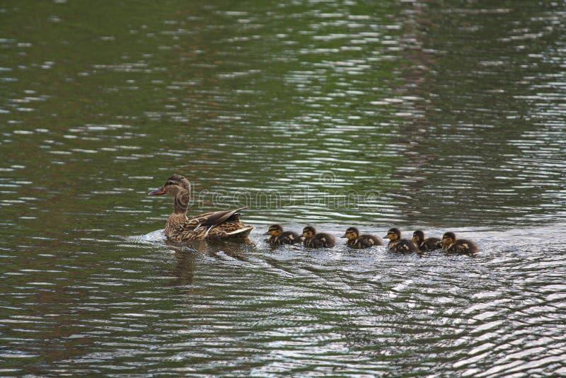 Bemuttern Sie Ente mit ihrer neugeborenen Nachkommenschaftsschwimmen in einem Teich stockbilder