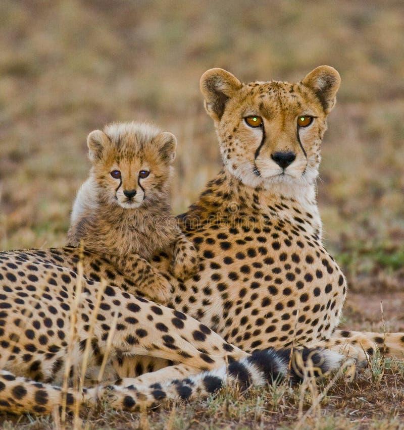 Bemuttern Sie Gepard und ihr Junges in der Savanne kenia tanzania afrika Chiang Mai serengeti Maasai Mara stockfotos