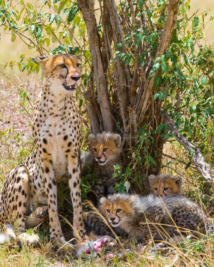 Bemuttern Sie Gepard und ihre Jungen in der Savanne kenia tanzania afrika Chiang Mai serengeti Maasai Mara lizenzfreie stockfotografie