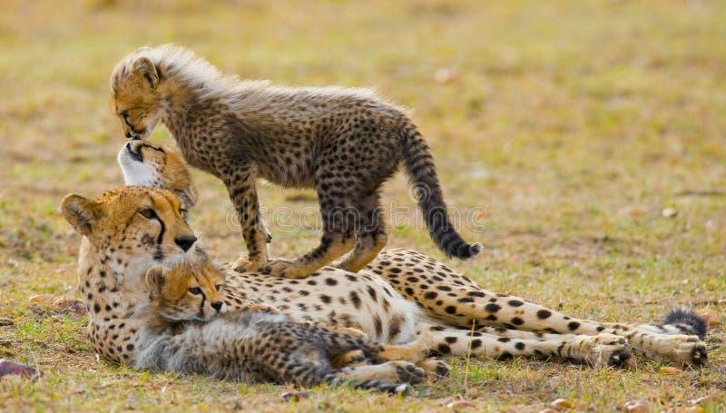 Bemuttern Sie Gepard und ihre Jungen in der Savanne kenia tanzania afrika Chiang Mai serengeti Maasai Mara stockfotografie