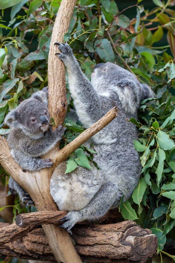 Bemuttern Sie Koala und zwei joeys unter Gummiblättern lizenzfreies stockfoto