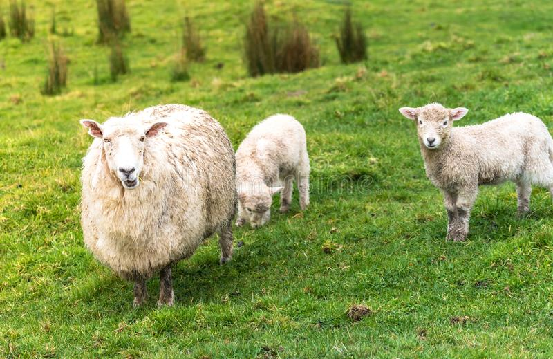 Bemuttern Sie Schafe in einer Wiese mit ihren zwei Lämmern lizenzfreie stockfotografie