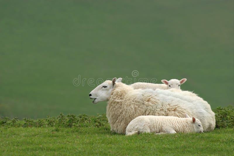 Bemuttern Sie Schafe und Doppellämmer lizenzfreies stockfoto