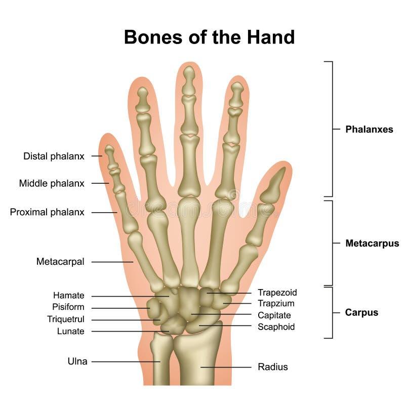 Ben av den medicinska vektorillustrationen f?r hand som isoleras p? vit bakgrund royaltyfri illustrationer